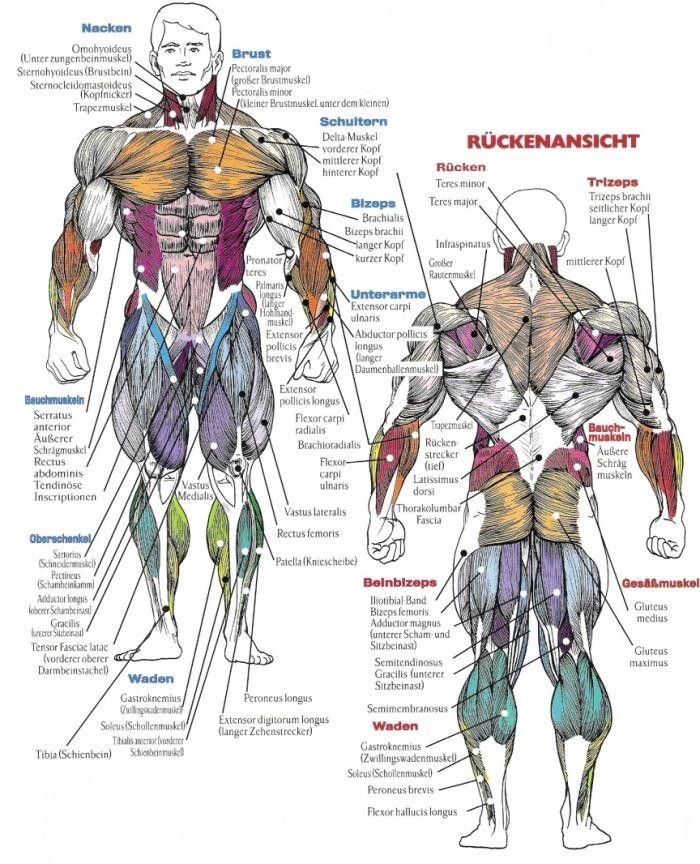 Fantastisch Bodybuilding Muskelanatomie Bilder - Anatomie Ideen ...